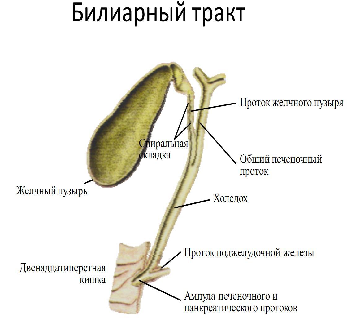 Проток Желчный